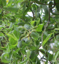 bladeren van de Kronkelwilg
