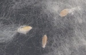 800px-populus_seedhairs