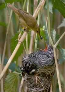 Jonge koekoek in nest van kleine karekiet. Het nest is al veel te klein voor deze parasiet.
